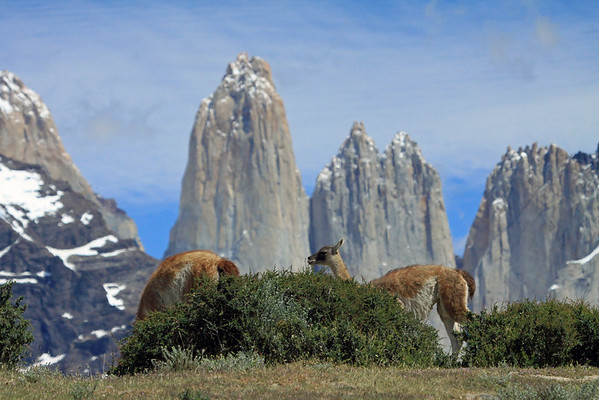 Guanacos along the ridgetop, with the slope of Mt. Almirante Nieto and the peaks of Torres del Paine and Cerro Nido Condor beyond.