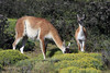 Guanaco grazing - with its young calf alongside.