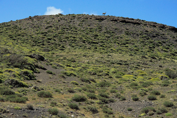 Solo Guanaco atop a ridge - with the early summer's green Patagonia Steepe ecoregion tint, blanketing the rocky slope.