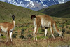 Guanacos - to the distal lower snow-patched slopes of Mt. Almirante Nieto.