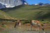 Guanacos grazing in the Torres del Paine National Park.