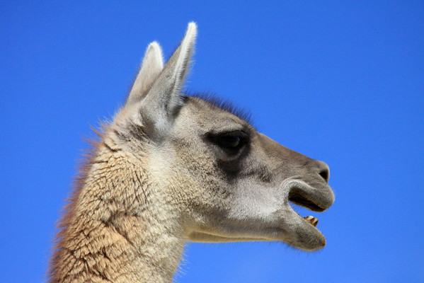 Guanaco hair - it is considered to be finer than alpaca but coarser than vicuña.