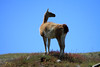 Guanaco along a ride, against the blue Patagonia sky.