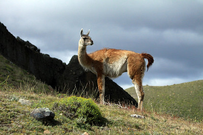 Sunlight upon a Guanaco.