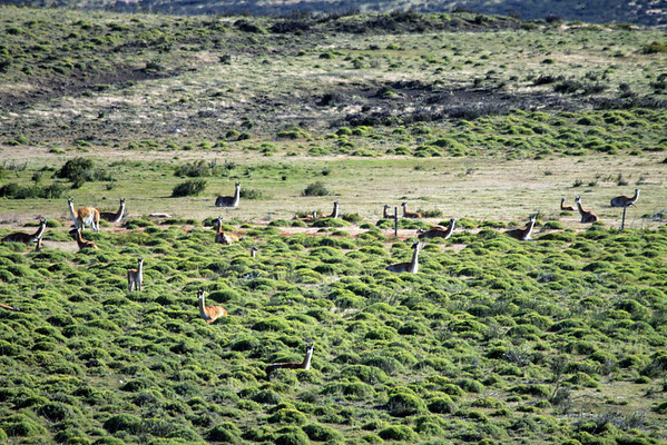 Guanacos - resting amongst the cushion plants, shrub, and grass.