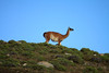 Guanaco along the ridgetop.