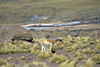 Vicuña foraging along the rocky slope, amongst the tussock grass, along Cerro Copacoya - Tatio Geyser Field - northern Antofagasta region.