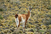 Guanaco (Lama guanicoe) - this is 1 of 4 species of camelids found in Chile (Vicuña, Llama, and Alpaca the others).