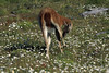 Grooming Guanaco - amongst the Patagonia Daisies.