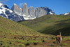 Guanaco with Mt. Almirante Nieto (l), Torres del Paine (m), and Cerro Nido Condor (r).