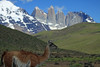Guanaco - with the the Torres del Paine in the background.