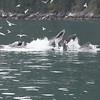 Humpbacks bubble net feeding