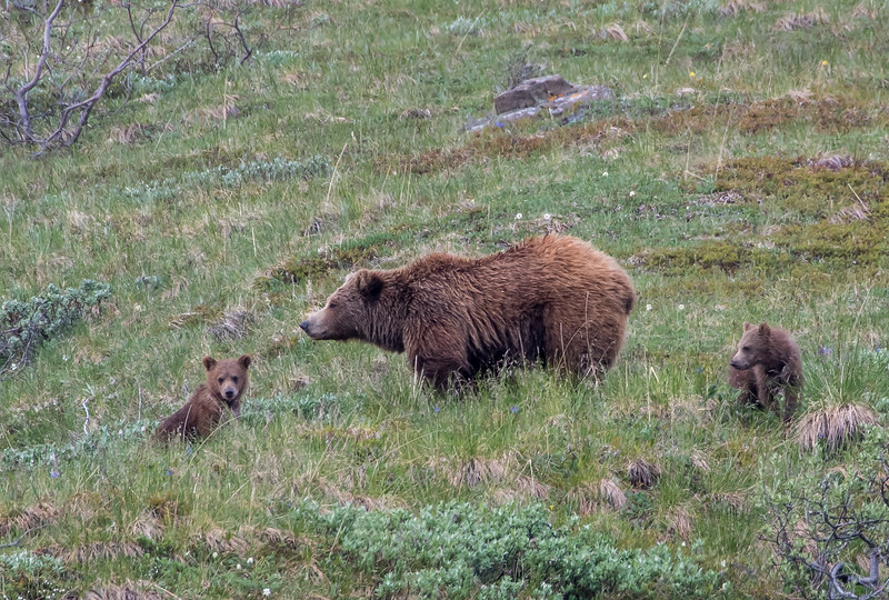 Grizzly with her first summer cubs,  Denali National Park  June 2017