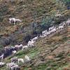 Female Caribou herd
