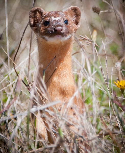 Least Weasel -- Mustela nivalis