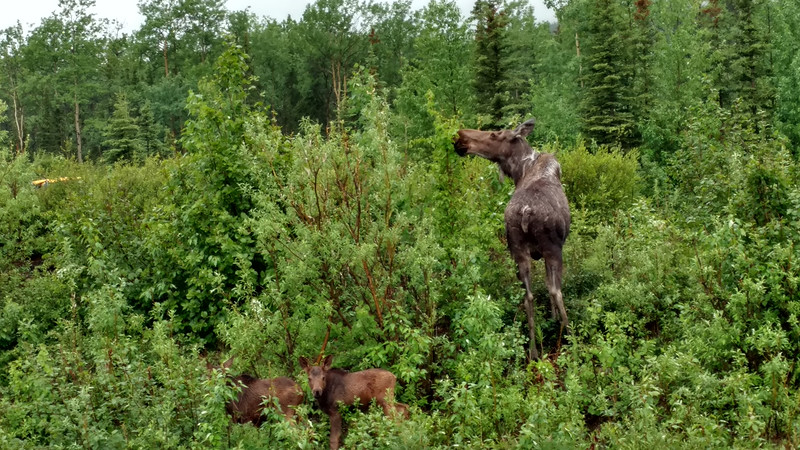 Moose and her twin calves, Denali National Park  June 2017