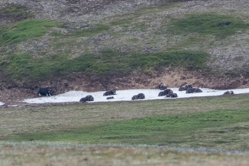 Musk Ox cooling off on a snow patch