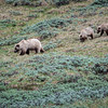 Grizzly sow with second summer cubs, Denali National Park  June 2017