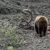 Grizzly Boar on a caribou carcass