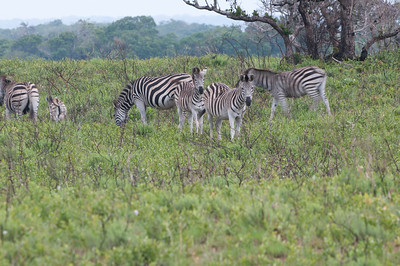 Common (Plains) Zebras