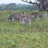 Common (Plains) Zebras