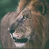Lion, western Masai Mara NP, Kenya