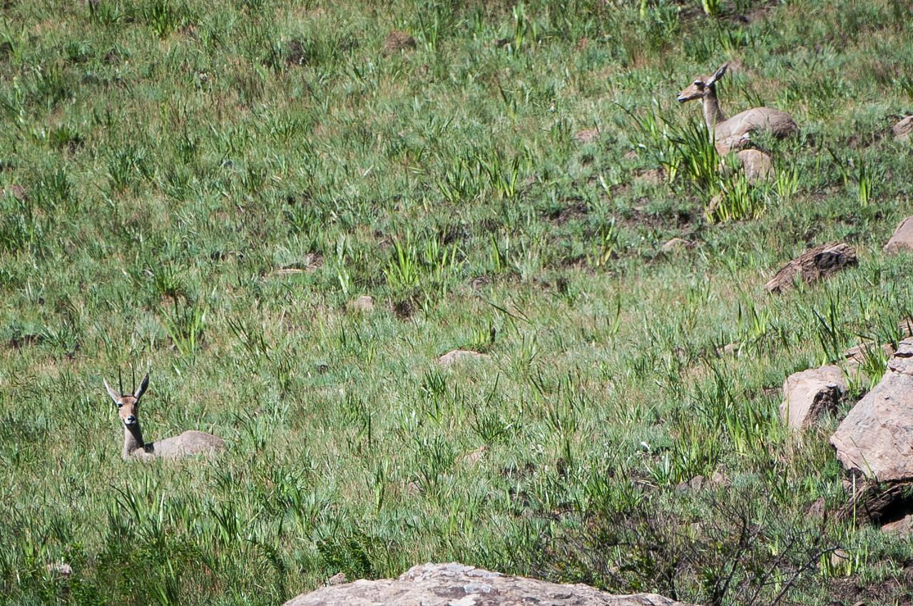 Mountain Reedbuck