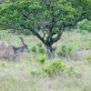Greater Kudi (male)
