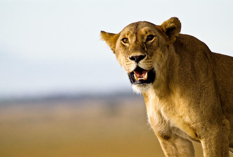 Mama Lion