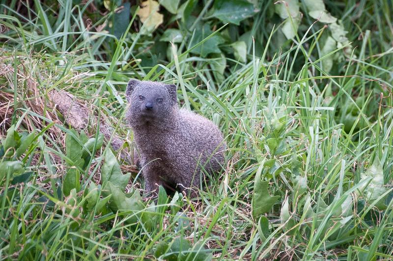 Small Gray Mongoose