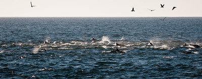 Common Dolphins and Cape Gannets hunting anchovies