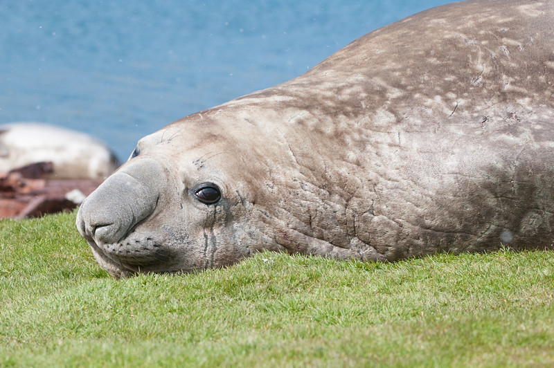 Immature Southern Elephant Seal