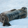 Weddell Seal -- Larson Harbor, South Georgia Island
