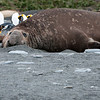 Southern Elephant Seal male, almost mature, among fur seals and King Penguins