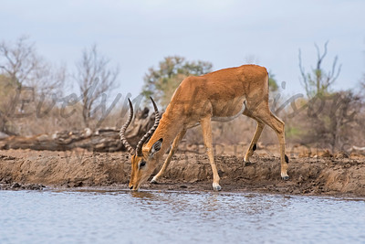 Impala at the Waterhole