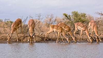 Impala at the Waterhole