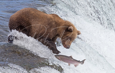 Salmon Watching!