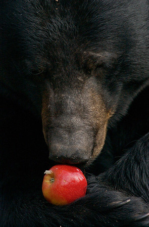 Black Bear & Apple
