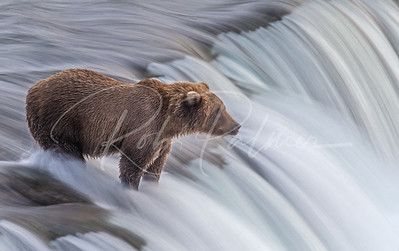 Young Brown Bear at Brooks Falls