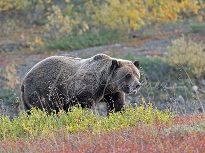Grizzly in Denali