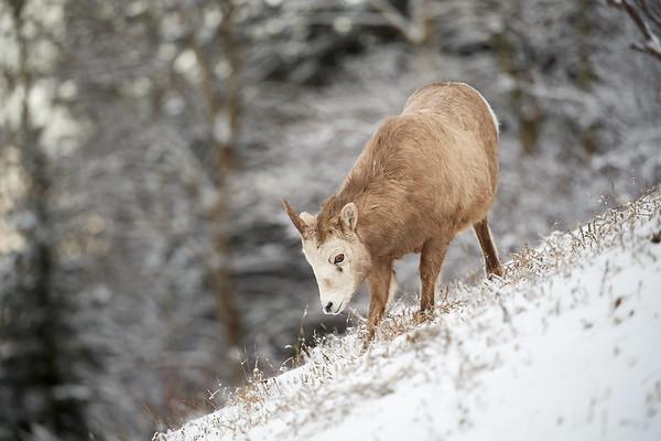 Big Horn Sheep Ewe Scraping through Snow - Jasper National Park, Alberta Canada