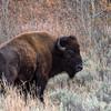 Bachelor Bison
