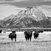 B&W Bison Herd and Mount Moran