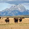 Bison Herd and Mount Moran