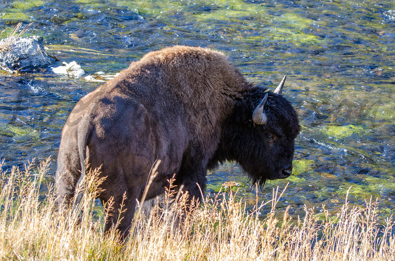 Bison on the Firehole River