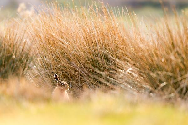 Goldn Reeds