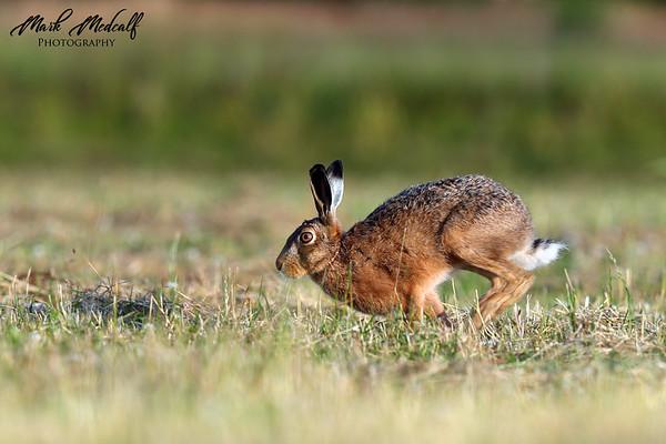 Run Hare Run