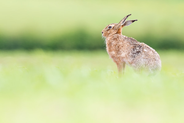 Mushy Hare
