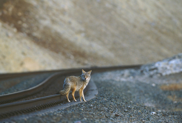Coyote On Tracks