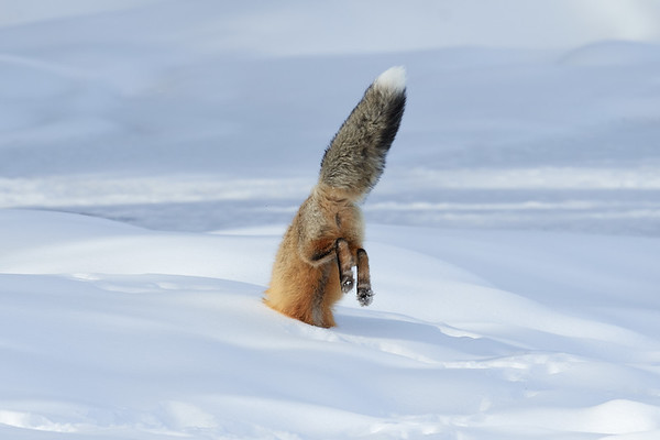 Fox In Snow - Yellowstone NP, WY